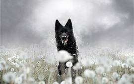 Perro negro corriendo, diente de león, brumoso.