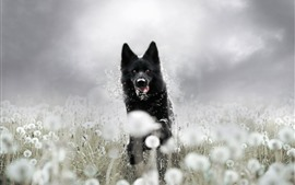Preview wallpaper Black dog running, dandelion, hazy
