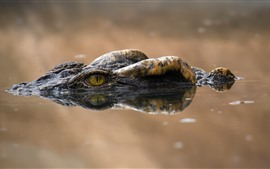 Preview wallpaper Crocodile, eyes, water