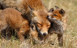 Preview wallpaper Cute fox, family, cubs