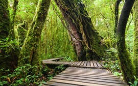 Doi Inthanon National Park, jungle, trees, wood footpath, Thailand