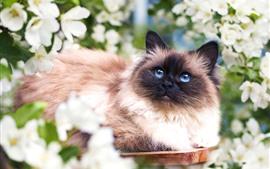 Gato peludo, olhos azuis, flores brancas, mola