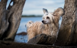 Preview wallpaper Furry white dog, rocks