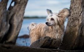 Cão branco peludo, pedras