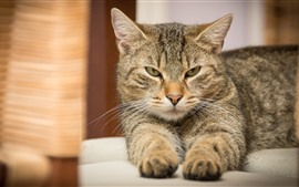 Vista frontal del gato gris, cara, brumoso