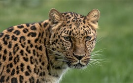 Leopard, look, head, green background