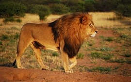 Preview wallpaper Lion, mane, wildlife, Africa