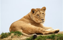 Preview wallpaper Lioness, wild life, rest, look back