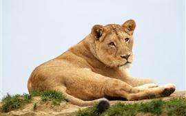 Leoa, vida selvagem, descanso, olhe para trás