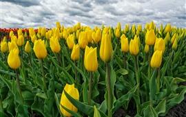 預覽桌布 許多黃色鬱金香, 花田