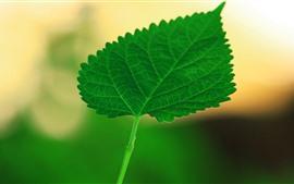 Один зеленый лист крупным планом, туманный фон