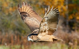Preview wallpaper Owl flight, wings, wildlife