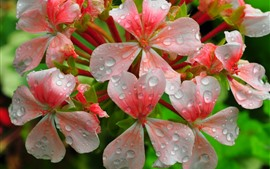 Preview wallpaper Pink flowers, petals, water droplets