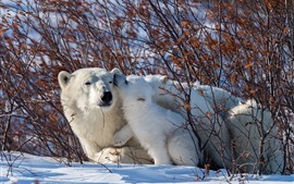 Preview wallpaper Polar bears, family, snow, bushes