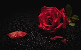 Preview wallpaper Red rose, petal, water droplets, black background