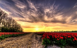 Preview wallpaper Red tulips field, sunset, glare