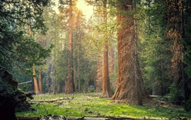 Preview wallpaper Sequoia National Park, forest, trees, sun rays, nature, USA