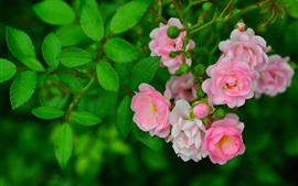 Some pink roses, green leaves, spring