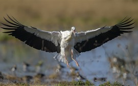 Preview wallpaper Stork open wings, flight
