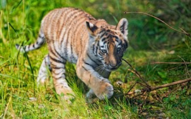Tiger cub walking in the grass, summer