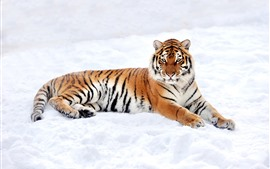 Preview wallpaper Tiger rest, snow, winter, white world