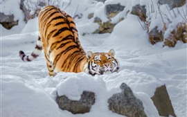 Preview wallpaper Tiger, snow, pose, winter