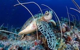 Tortuga, coral, mar