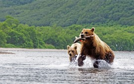 Preview wallpaper Two brown bears, catching fish, river