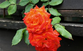 Two orange roses, water droplets, leaves