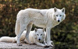 Preview wallpaper Two white wolves, look, rest