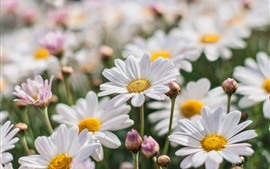 Preview wallpaper White chamomile, flowers, petals, spring