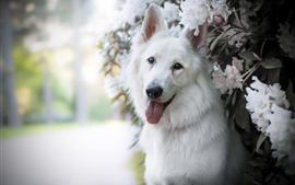 Preview wallpaper White dog and white flowers, hazy
