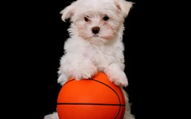 Preview wallpaper White puppy and basketball, black background
