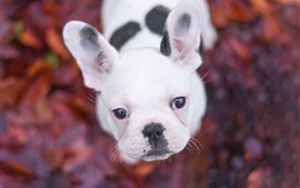 Preview wallpaper White puppy look up