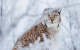 Preview wallpaper Wildcat, lynx, hazy, twigs