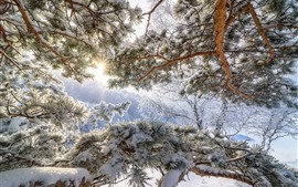 Preview wallpaper Altay, pine, snow, winter, sun rays