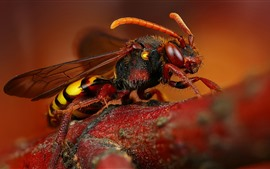 Abeja macro fotografia, hornet, alas