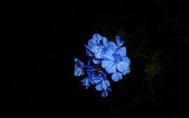 Flores azules, pétalos, fondo negro.