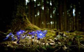 Голубые цветы, полевой цветок, лес