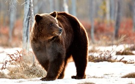 Preview wallpaper Brown bear look back, winter, snow