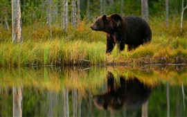 Preview wallpaper Brown bear, pond, grass