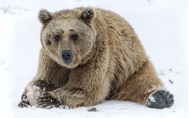 Preview wallpaper Brown bear, sit on ground, snow, winter