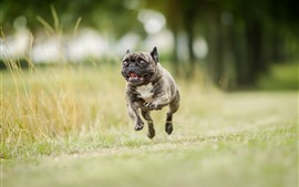 Preview wallpaper Bulldog running
