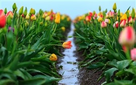 Preview wallpaper Colorful tulips flowers, water droplets, hazy