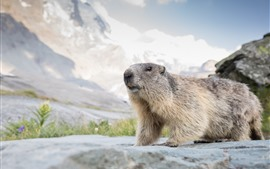 Preview wallpaper Cute animal, marmot, wildlife