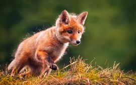 Preview wallpaper Cute little fox, walk, grass