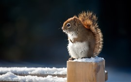 Cute squirrel, snow, winter, stump