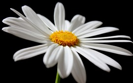 Preview wallpaper Daisy, white petals close-up, black background