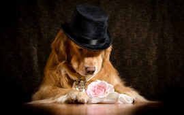 Preview wallpaper Dog, hat, rose