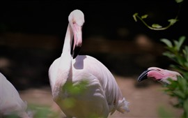 Фламинго, птица, шея